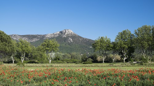 trees mountain poppies provence sycamores platanes trets challengeyouwinner montolympe titole nicolefaton