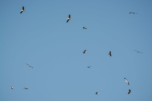 Lots of storks and a black kite