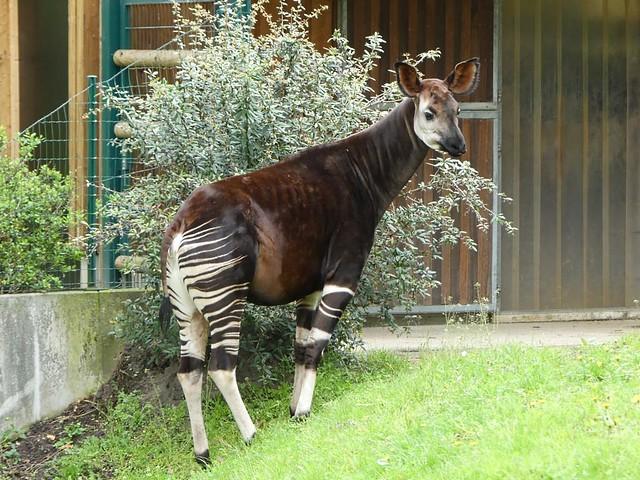 Okapi, Zoo Frankfurt