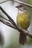Zapata Sparrow - Torreornis inexpectata