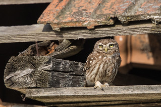 Little Owl, Steenuil, Athene noctua.