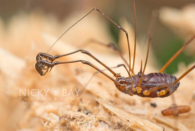 Harvestman (Opiliones) - DSC_3188