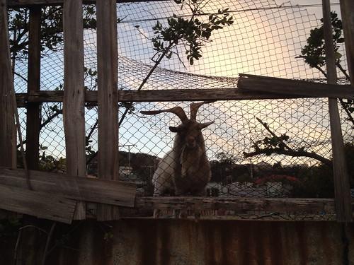 Local goat