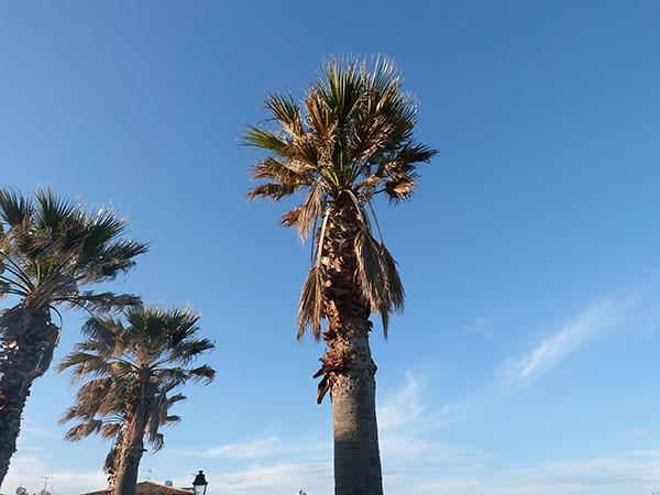 palmiers à Antibes