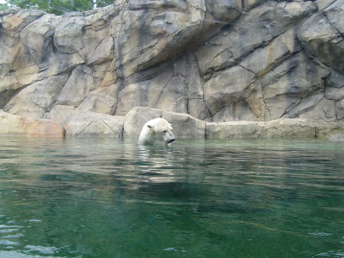 A Polar bear enjoys a relaxing swim at Chicago's Brookfield zoo.  Chicago Illinois.  Saturday, June 8th, 2013. by Eddie from Chicago