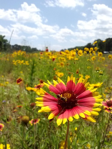 This wildflower field at Dirt Works Incubator Farm, on John's Island, in Charleston, S.C., provides important habitat for pollinator species. Photo by Nikki Seibert, Lowcountry Local First.