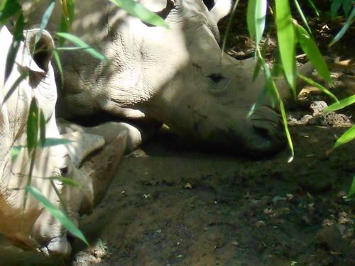 sleepy rhinos