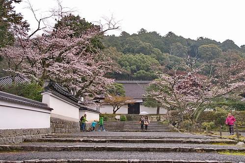 【写真】桜 : 南禅寺