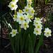 Daffodil 'Minnow' by p h o t o l i f e