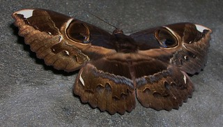 Erebus ephesperis, Owl Moth