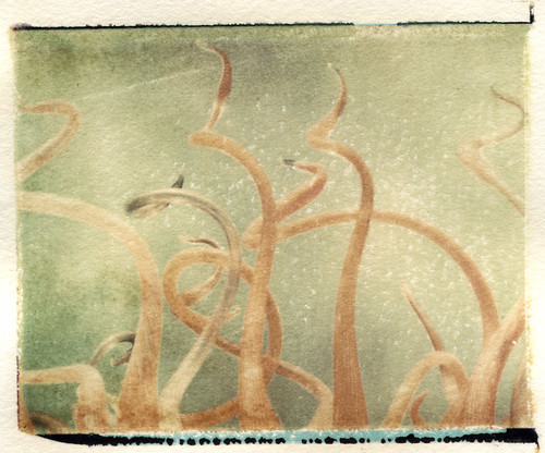 Chihuly's Gladney Rose Trellis (Polaroid transfer) by Hilary (curioush)