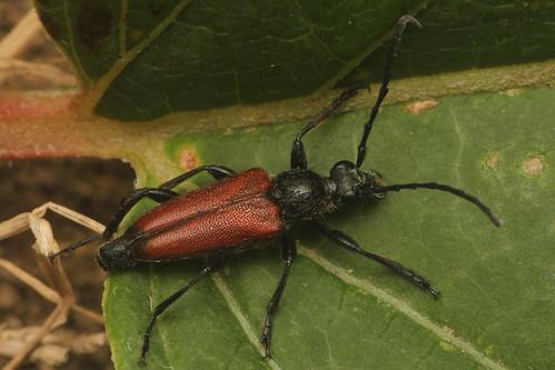 ヒメアカハナカミキリ