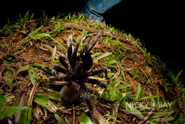 Tarantula (Theraphosidae) - DSC_1283