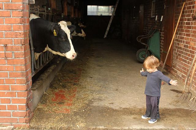 les vaches!
