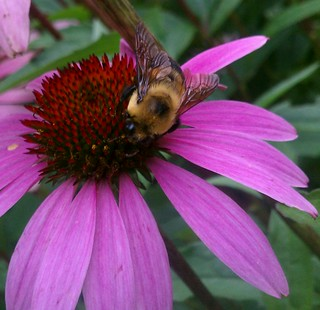 Dinner Time for Bumble Bee