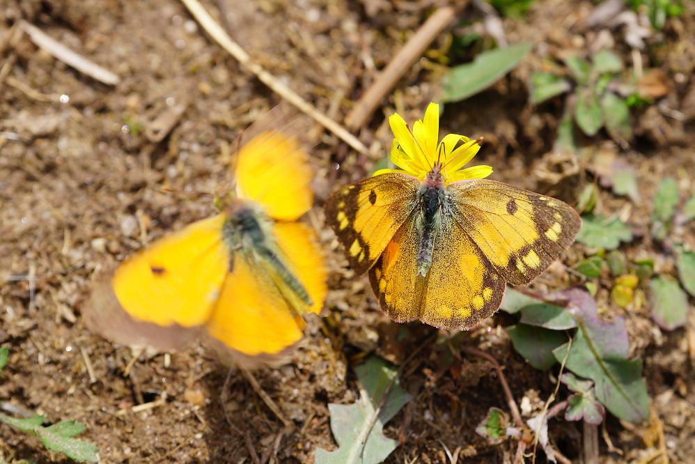 南亞粉蝶 colias fieldii-3