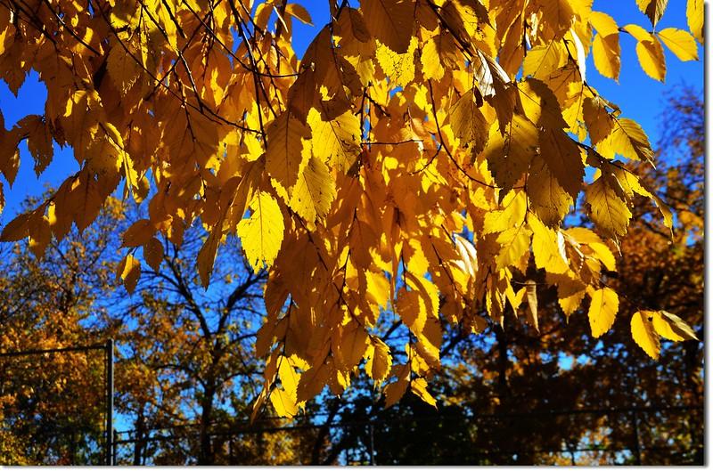 Elm(榆樹) in Fall, Chautauqua, Boulder 1