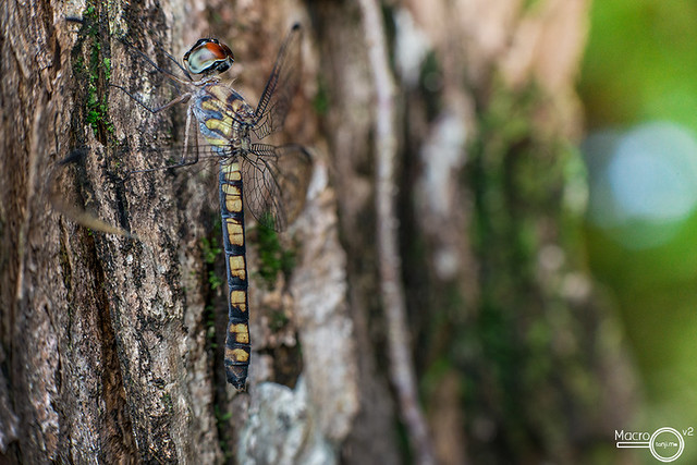 Tyriobapta torrida ♀ perching