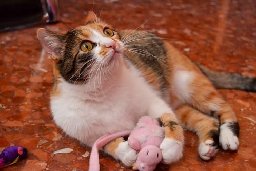 Jaspe, maravillosa tricolor de ojos cobrizos esterilizada nacida en Abril´11, necesita adopción. Valencia. ADOPTADA.  10903179183_8df886f0c4