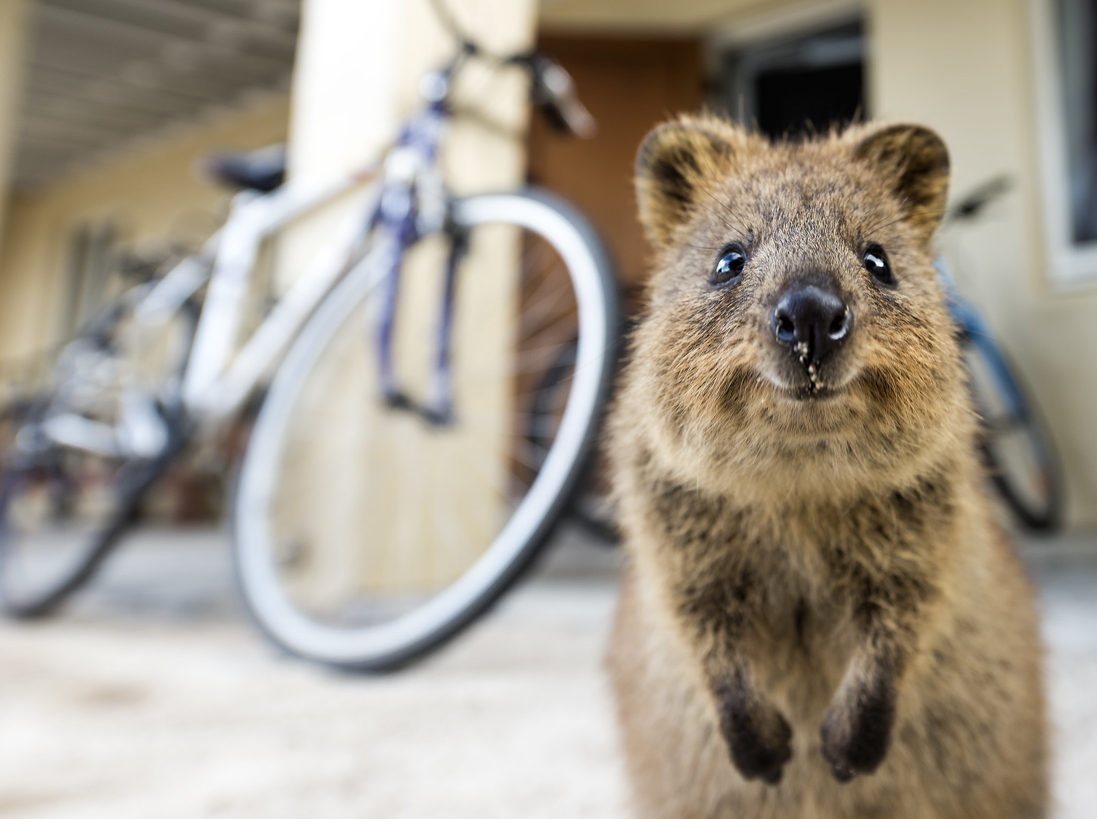 Baby quokka smiling - photo#22