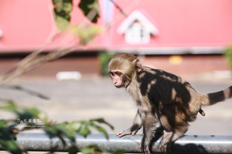 台南私藏景點-南化烏山獼猴 (29)