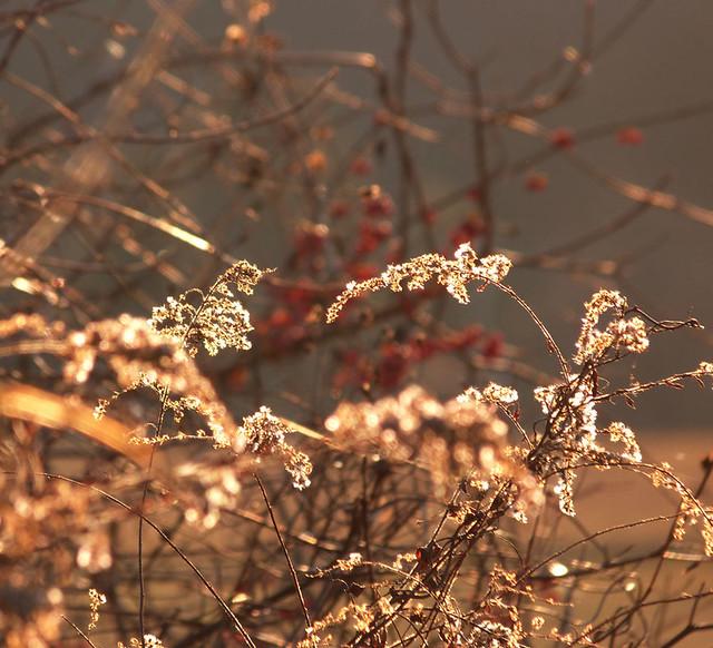 goldenweeds3