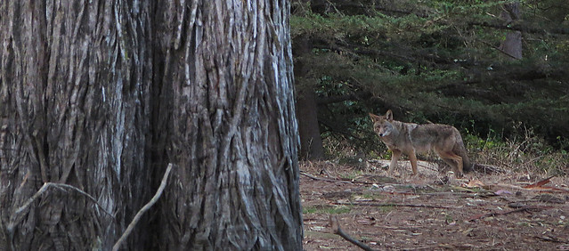 canis latrans goldengatus - Coyote in Golden Gate Park, San Francisco (2014)