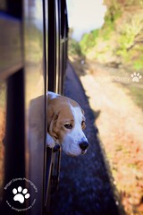 Porthos Beagle | London Dog Portraits