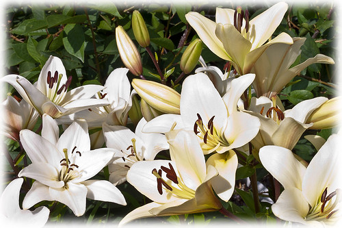 White Lily Beauty by Rustic Pixel