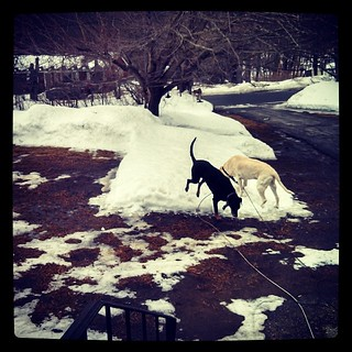 Yard is a soggy mess and these 2 are out there playing king and queen of the #snow mountain #dogstagram #winter #mud #ilovemydogs