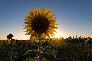 Sunflower sunset 2014-03-02 (IMG_0126)