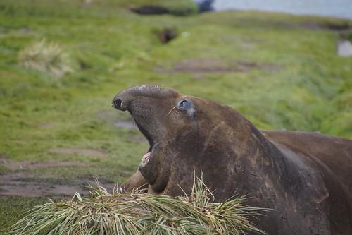 405 Zeeolifanten