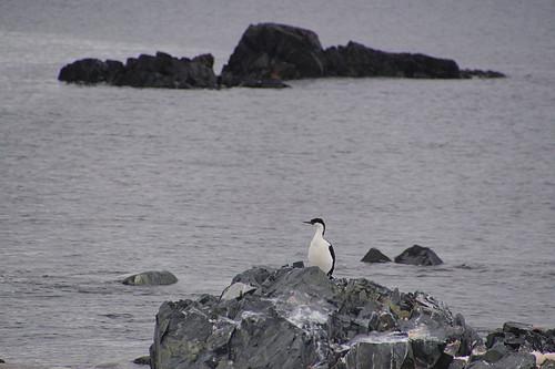 114 Wandeling Halfmoon Island - aalscholver