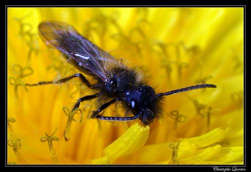 Andrena sp. (Andrena bicolor)