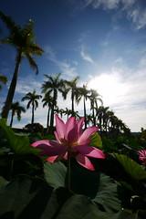 荷花(Lotus flower)