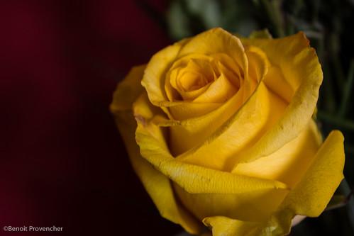 21 - Rose jaune