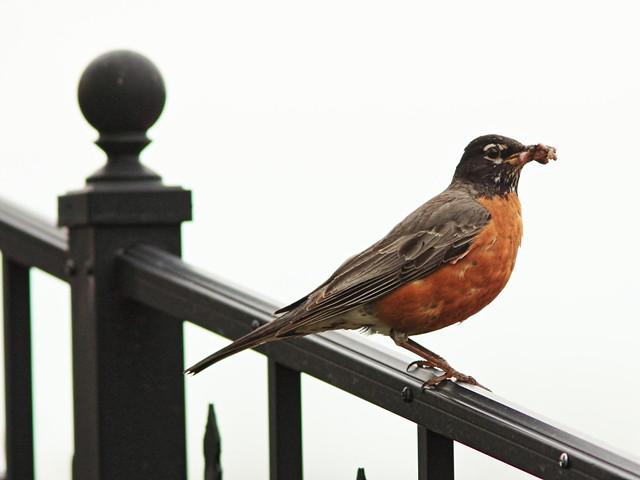 American Robin male 2-20140504