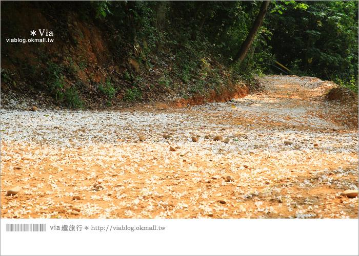 【彰化油桐花】福田桐花生態園區~雪白花毯!每年都會想再回訪的賞桐景點5