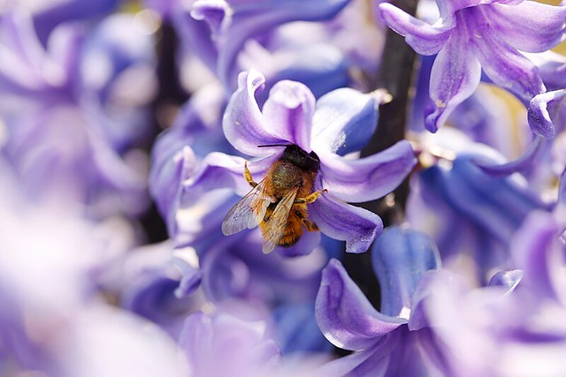 Botanical garden hyacinths and bee