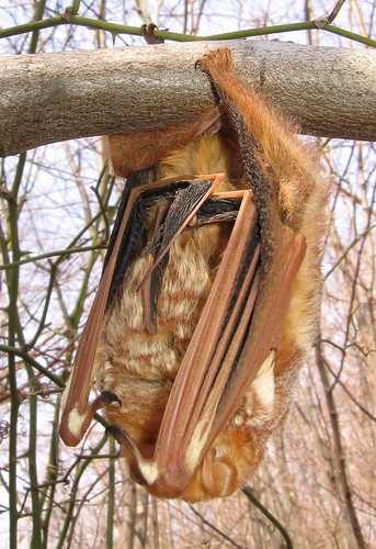 Roosting under leaf litter has shown to keep eastern red bats warm during the winter. (Creative Commons/Anita Gould)