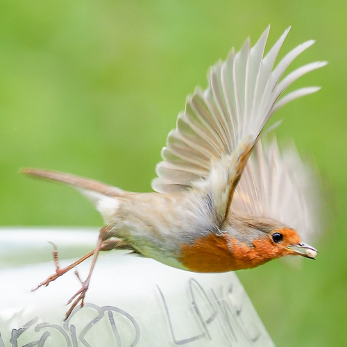 Robin departing 50-200 | by Brian Wadie Photographer