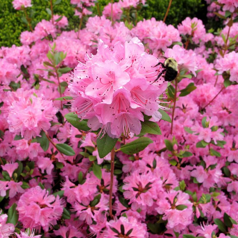 Tunxis courtyard azaleas with bumblebee