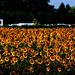Sunflower crop !!!