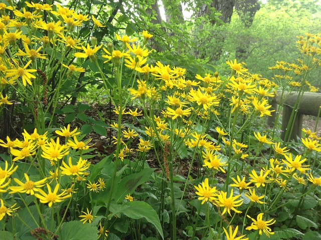 Packera aurea  in bloom in the Native Flora Garden. Photo by Sarah Schmidt.