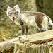 Angry Look - Red Wolf