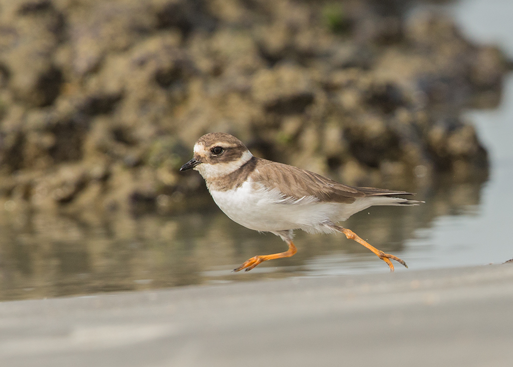 Ringed Plover  Gambia