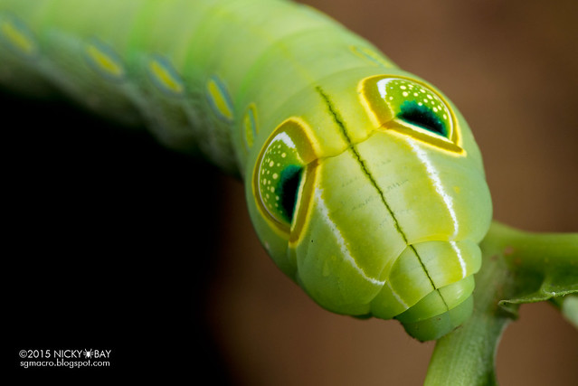 Green pergesa hawkmoth (Pergesa acteus) - DSC_8129