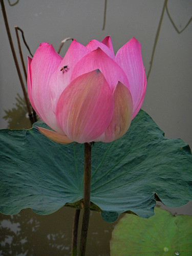 A Lotus Flower on the Mekong River
