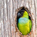 The holey one - Nanday Parakeet by bananaman33428