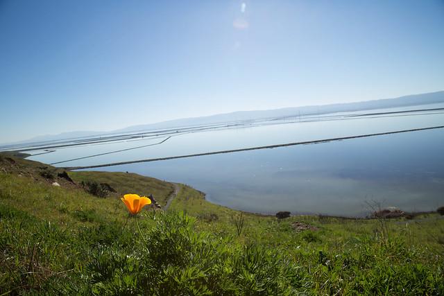 Poppy in Coyote Hills Regional Park - San Francisco Bay